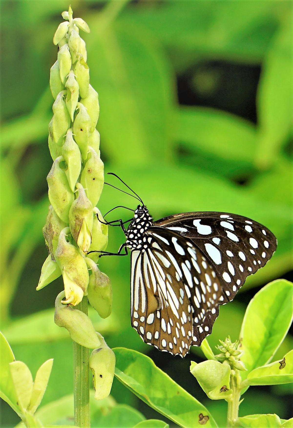 Image of Moths and butterflies, Butterfly, Insect, Brush-footed butterfly, Invertebrate, Pollinator etc.