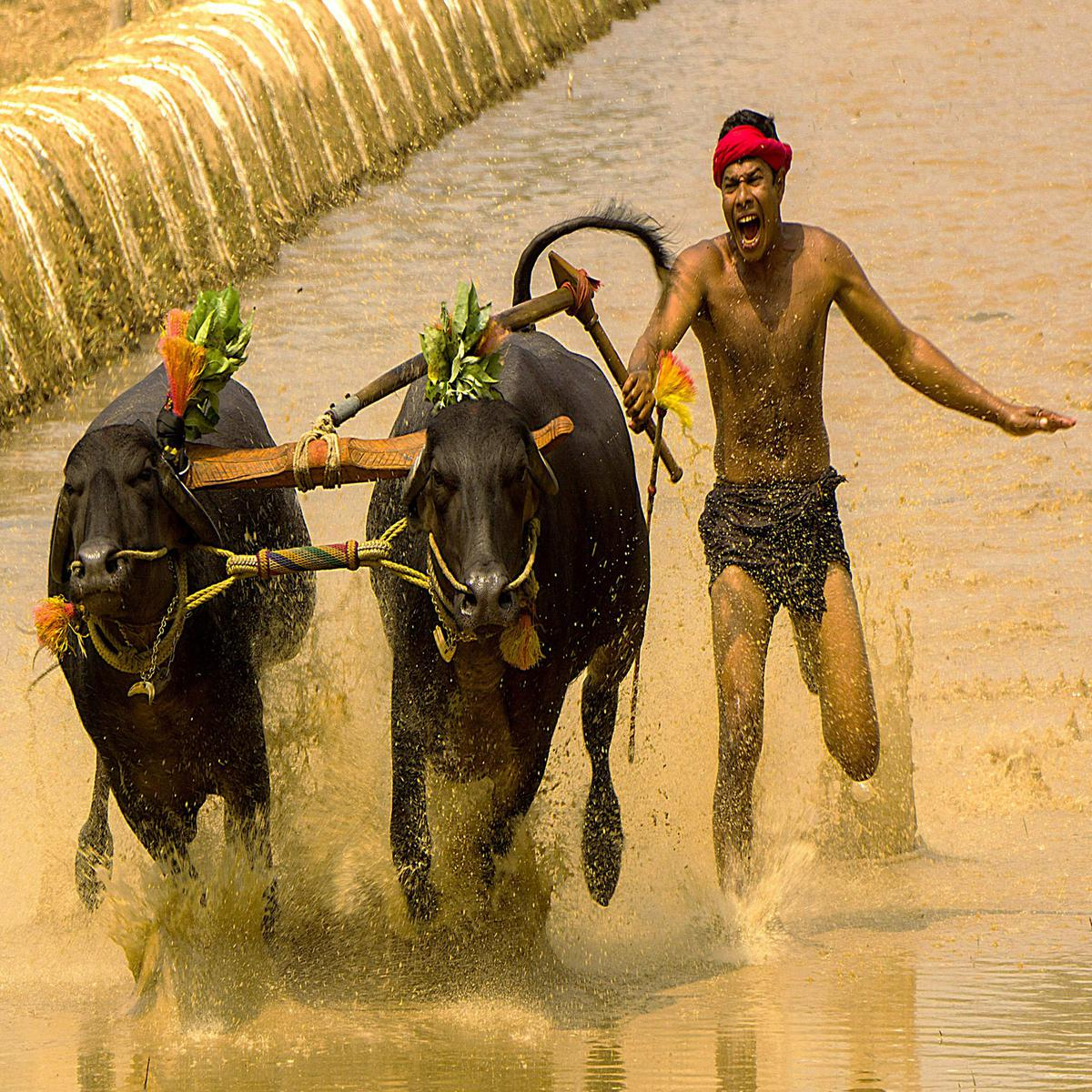 Image of Bovine, Working animal, Ox, Male, Vehicle, Water buffalo etc.