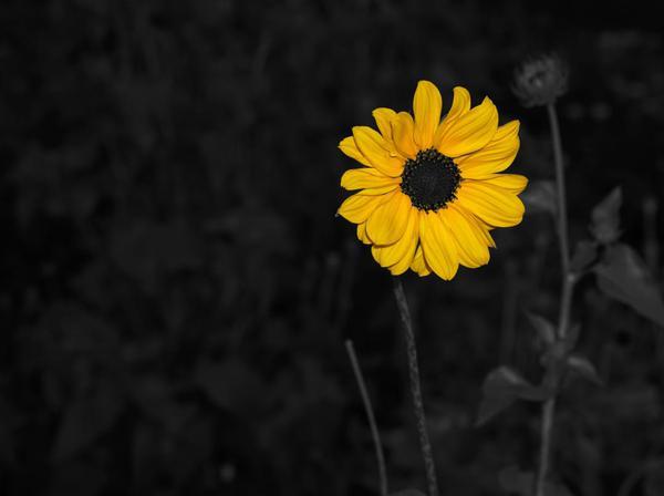 Image of Flower, Black, Yellow, Petal, Plant, Monochrome photography etc.