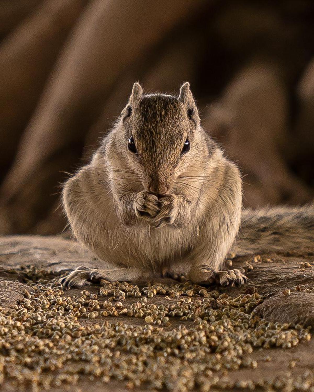 Image of Mammal, Vertebrate, Gerbil, Rodent, Whiskers, Wildlife etc.