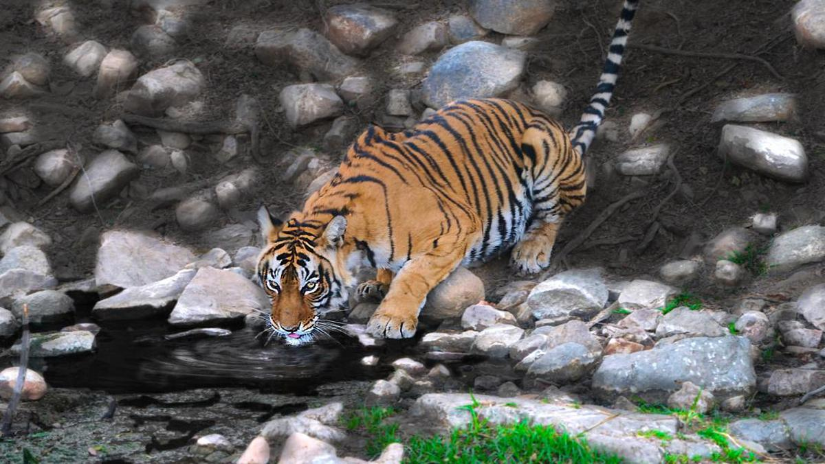 Image of Whiskers, Carnivore, Felidae, Terrestrial animal, Siberian tiger, Bengal tiger etc.