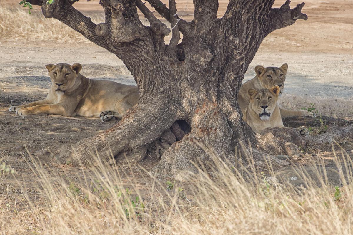 Image of Vertebrate, Wildlife, Terrestrial animal, Mammal, Felidae, Lion etc.