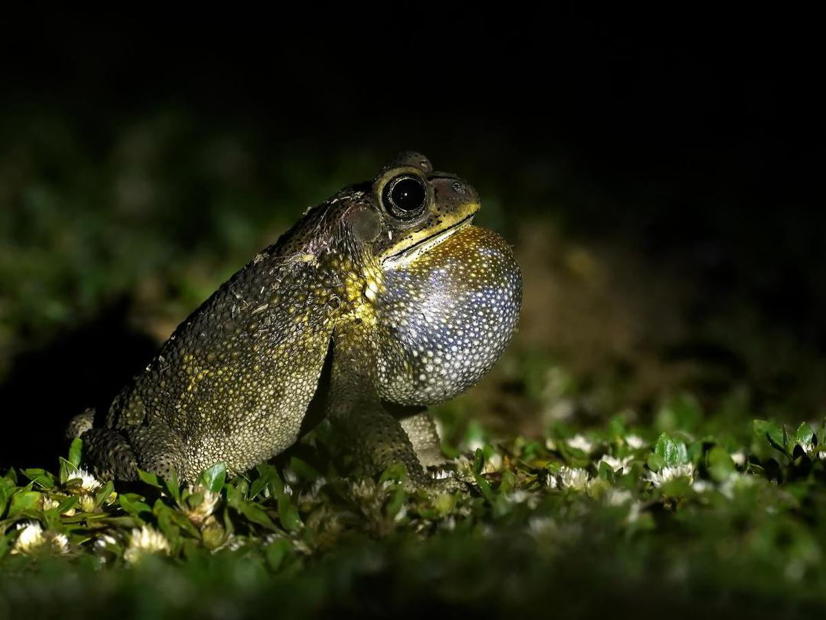Image of Frog, Toad, Amphibian, True frog, Bullfrog, Organism etc.