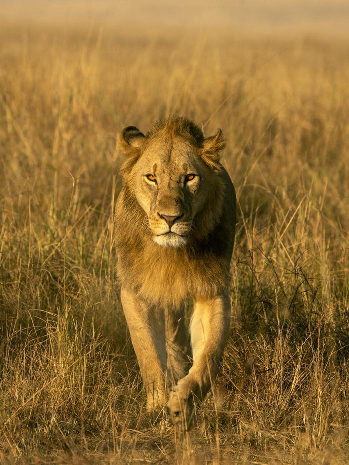 Image of Wildlife, Lion, Mammal, Terrestrial animal, Hair, Masai lion etc.