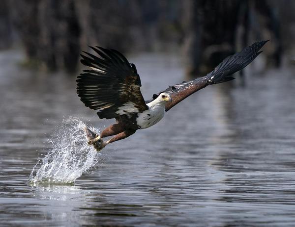 Image of Bird, Vertebrate, Eagle, Beak, Bald eagle, Bird of prey etc.