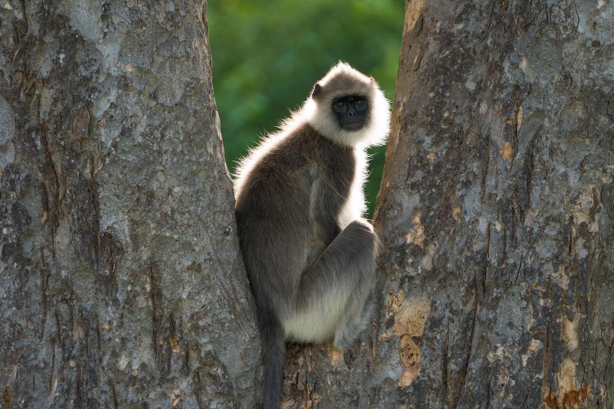 Image of Mammal, Vertebrate, Primate, Old world monkey, Nature reserve etc.