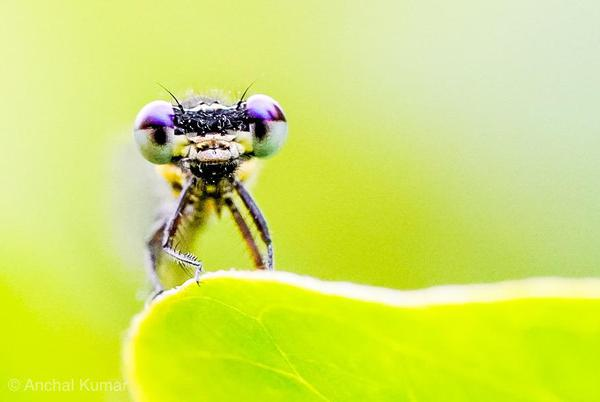 Image of Insect, Macro photography, Invertebrate, Close-up, Green, Damselfly etc.