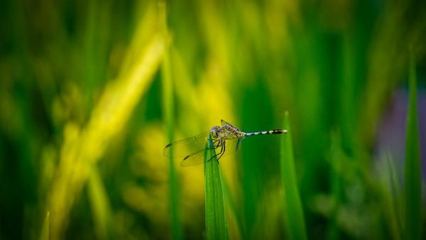 Image of Dragonfly, Insect, Green, Dragonflies and damseflies, Macro photography, Grass etc.