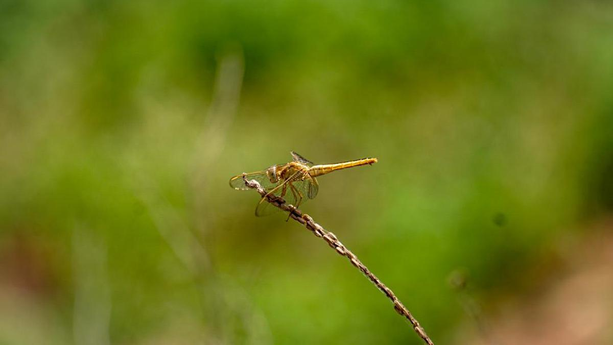 Image of Dragonfly, Insect, Dragonflies and damseflies, Green, Invertebrate, Macro photography etc.
