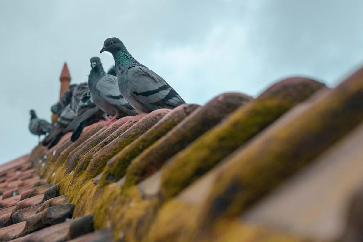 Image of Pigeons and doves etc.