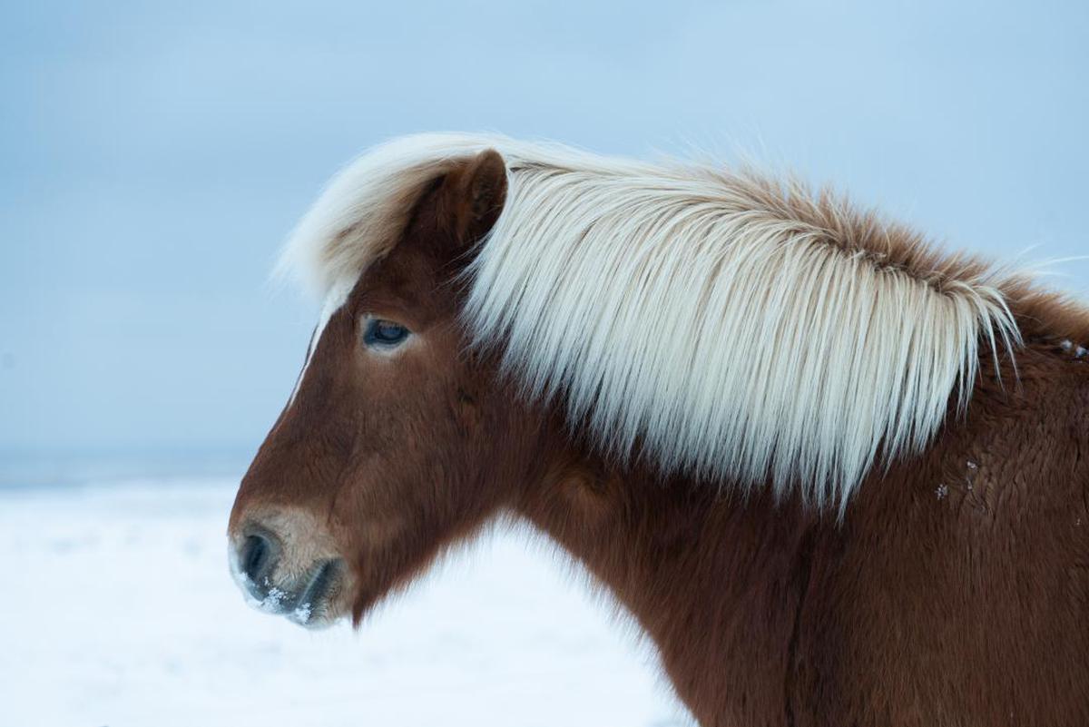 Image of Horse, Mammal, Vertebrate, Mane, Hair, Shetland pony etc.