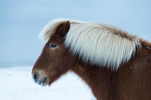 Image of Vertebrate, Mammal, Hair, Horse, Pony, Mane etc.