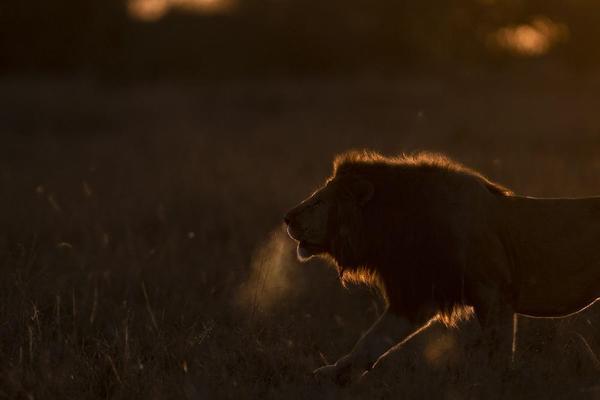 Image of Lion, Wildlife, Sky, Felidae, Big cats etc.
