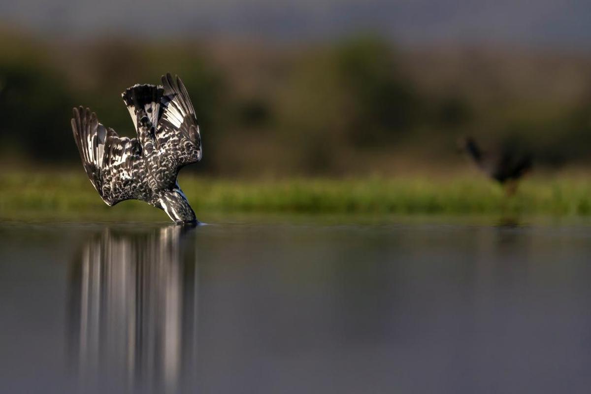 Image of Water, Bird, Wildlife, Osprey etc.