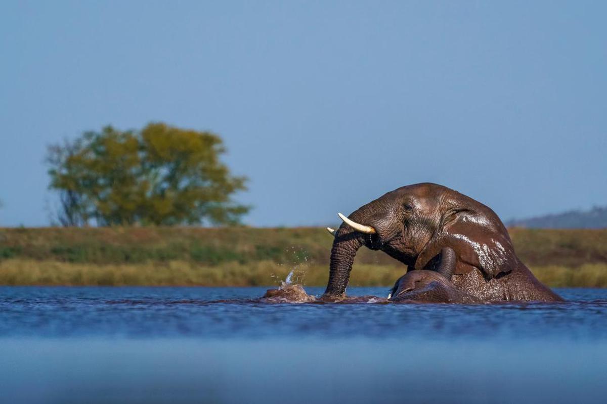 Image of Wildlife, Elephant, African elephant, Natural landscape, Terrestrial animal, Indian elephant etc.