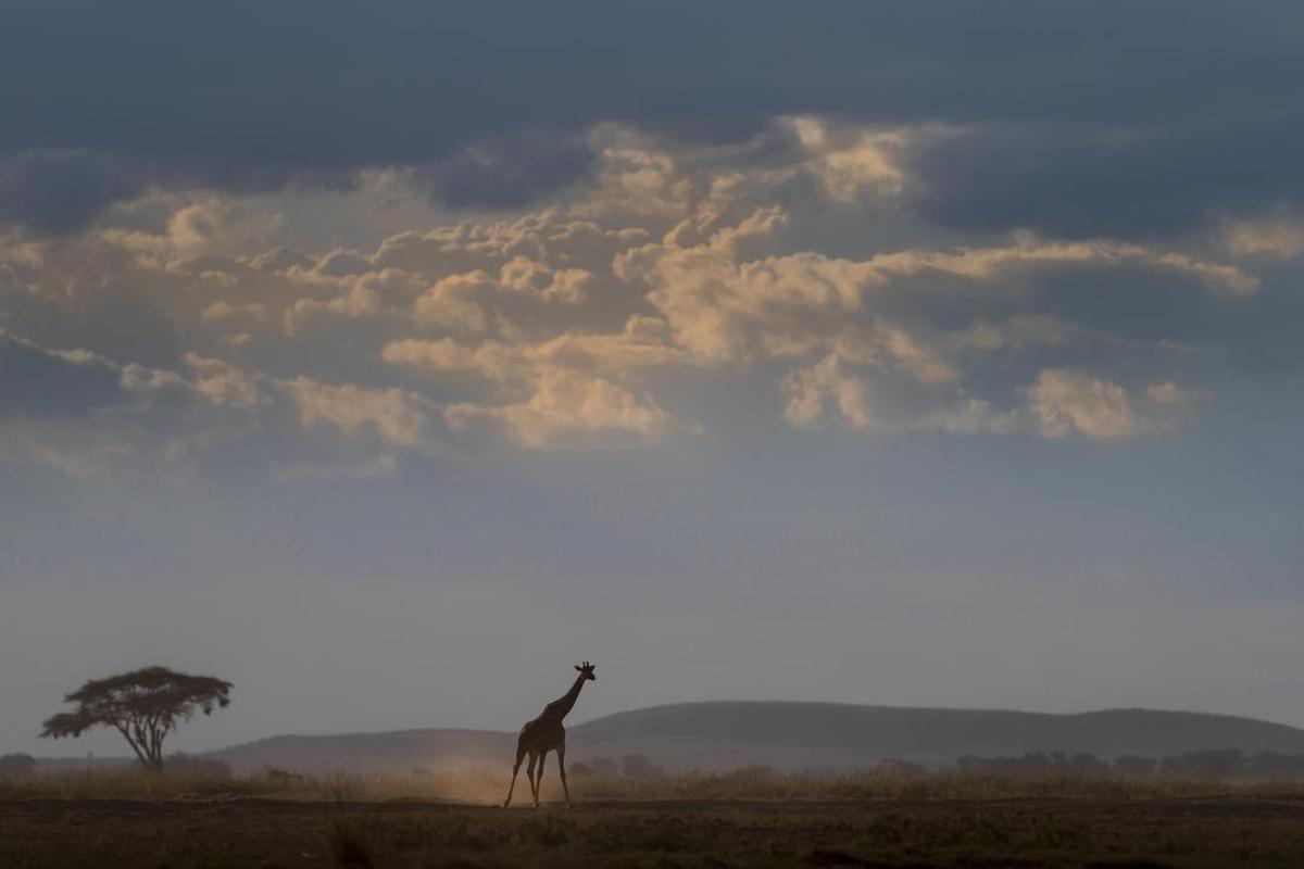 Image of Sky, Giraffe, Wildlife, Giraffidae, Savanna, Cloud etc.