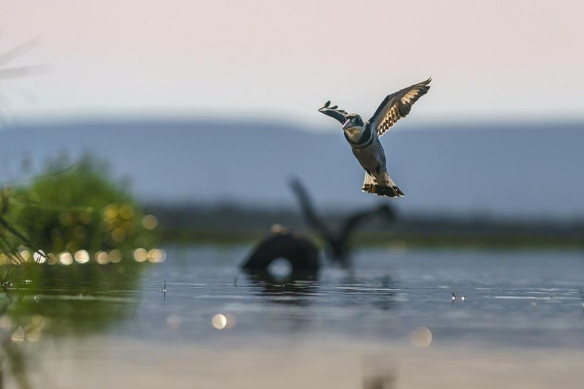 Image of Bird, Wing, Beak, Sky, Wildlife etc.