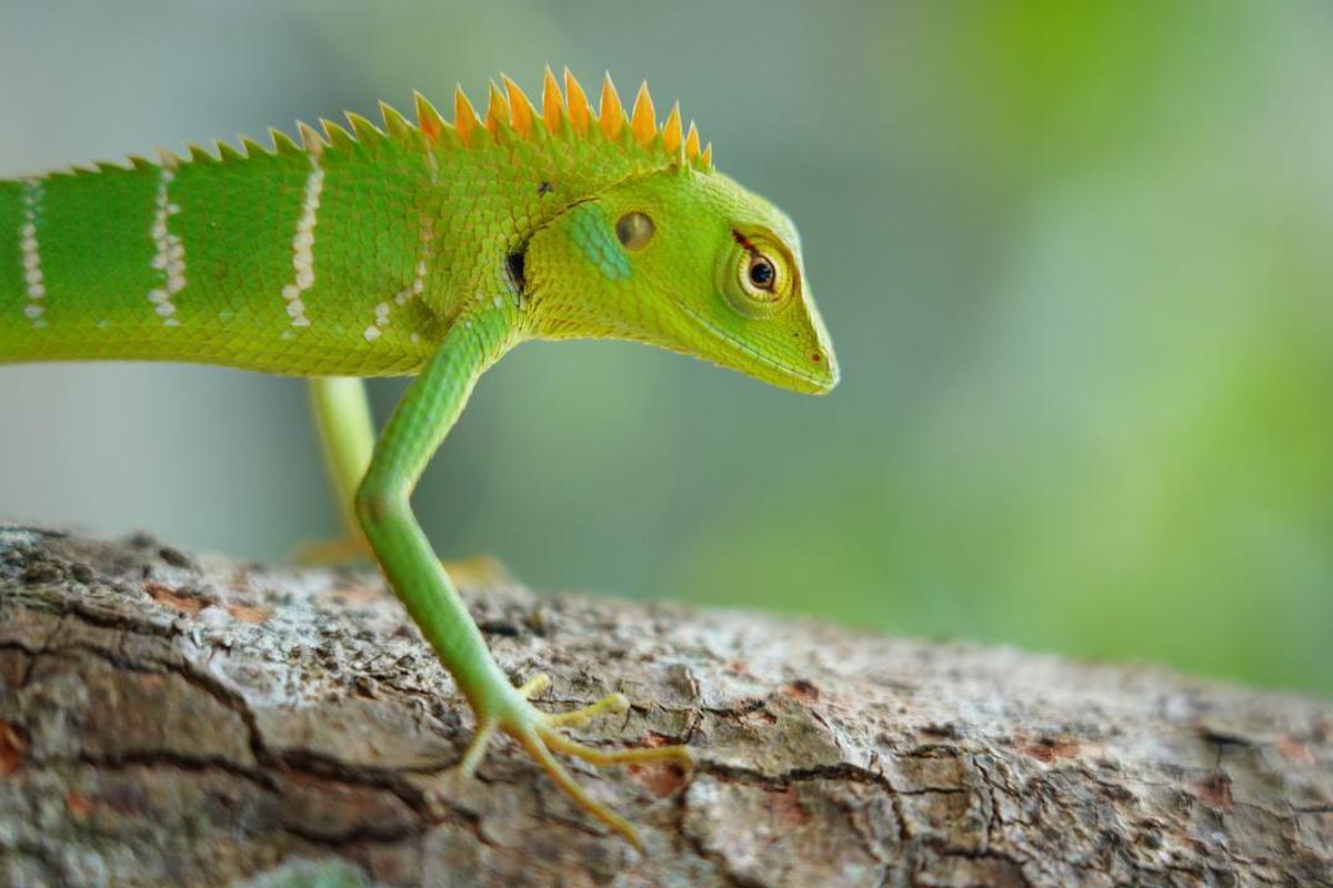 Image of Iguania, Adaptation, Chameleon,  Anole, Anole, Green etc.