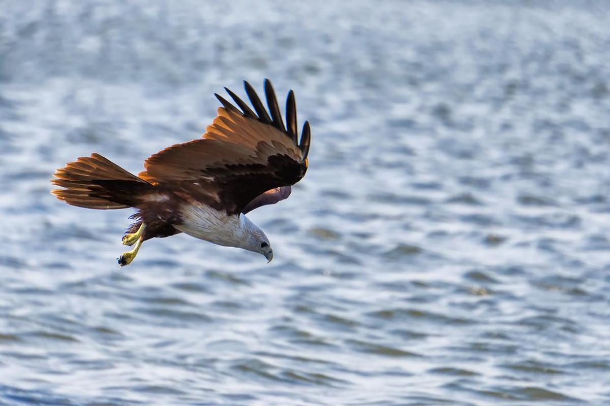 Image of Bird, Vertebrate, Eagle, Bird of prey, Bald eagle, Accipitriformes etc.
