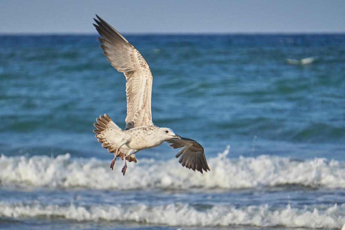 Image of Bird, Western Gull, Wave, European herring gull, Seabird, Gull etc.
