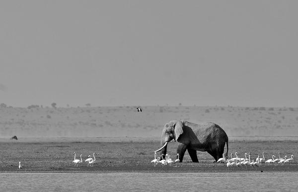 Image of Elephant, Wildlife, Terrestrial animal, Black-and-white, Elephants and Mammoths, Water etc.