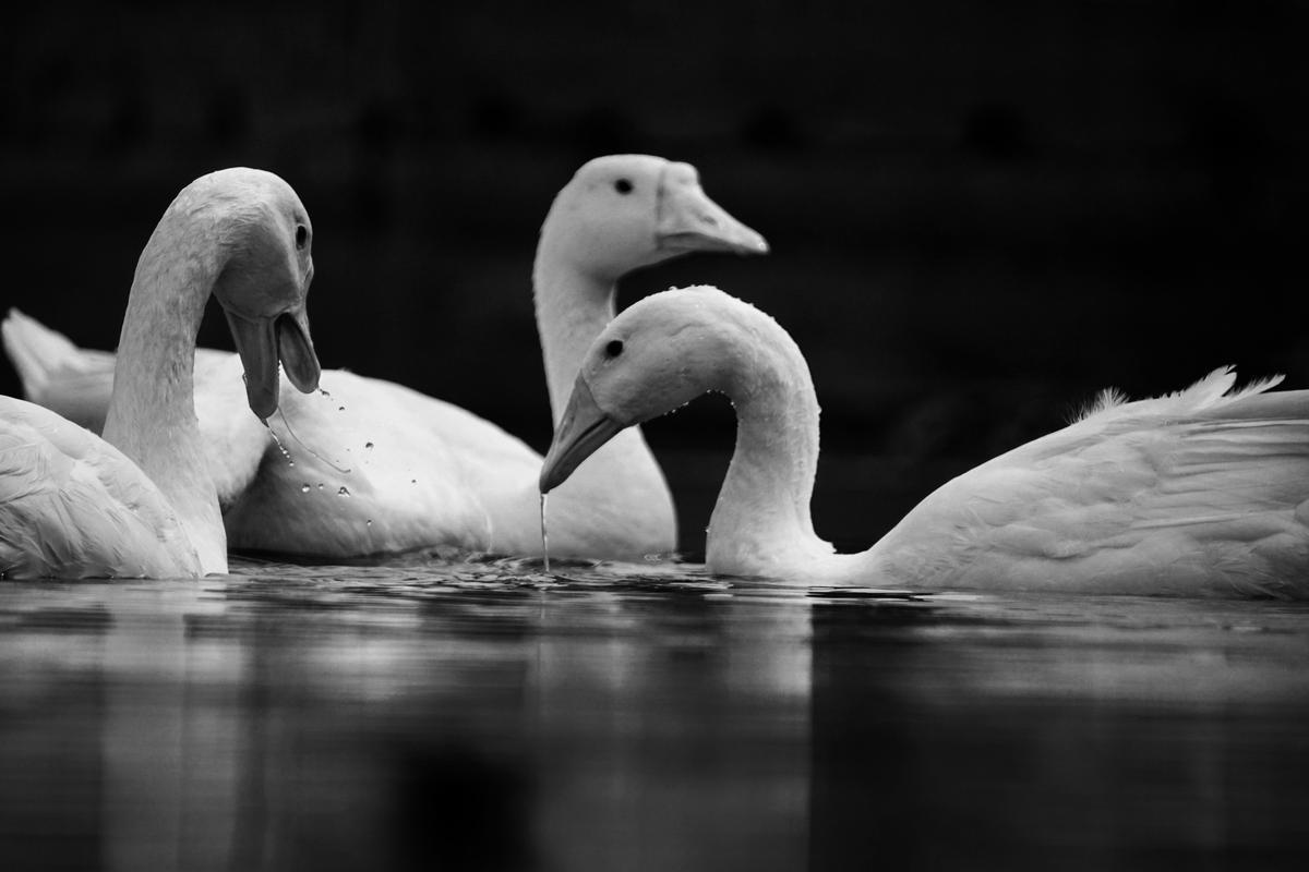 Image of White, Black-and-white, Monochrome photography, Black, Water, Bird etc.