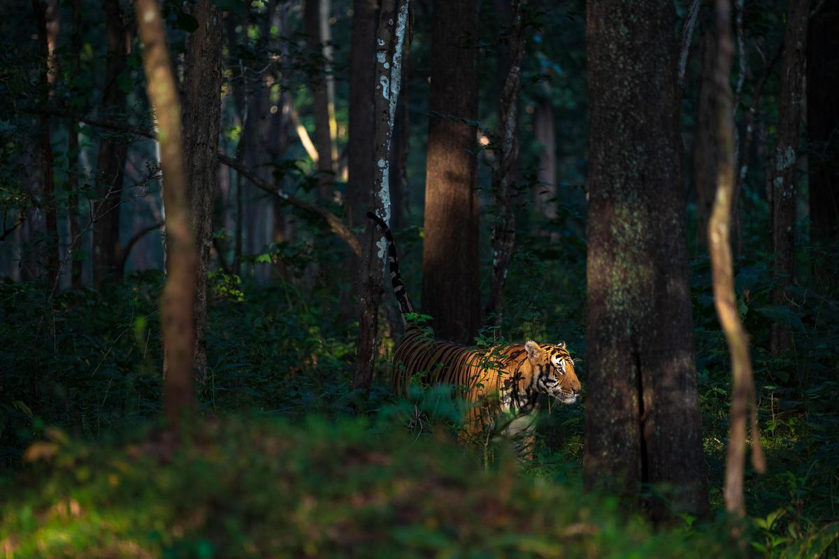 Image of Wildlife, Nature, Felidae, Old-growth forest, Green, Natural environment etc.