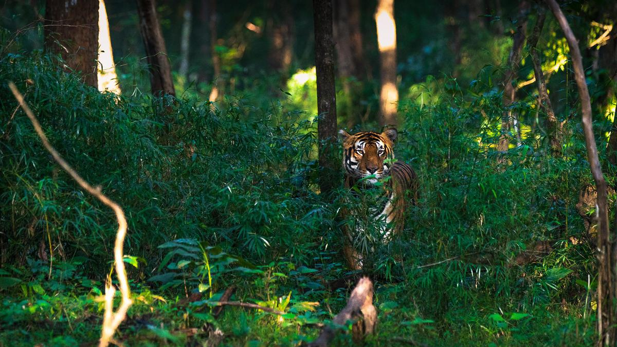 Image of Green, Jungle, Felidae, Wildlife, Bengal tiger, Vegetation etc.